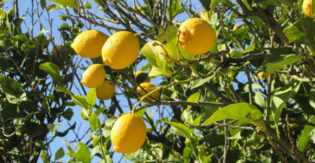 lemon tour in Costiera Amalfitana
